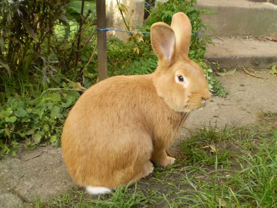 Burgundský samec, králík, Kout