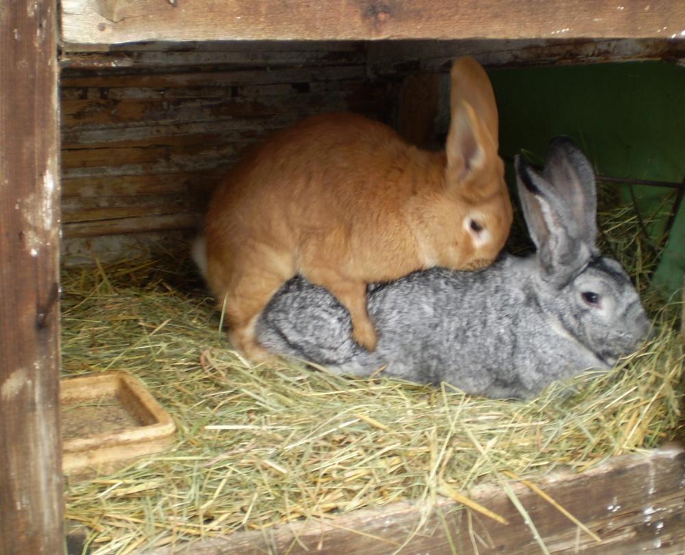 Činčila velká, králík