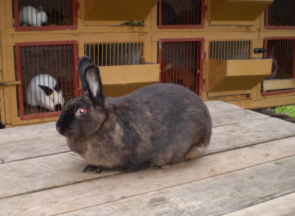 Kuní velký hnědý králík