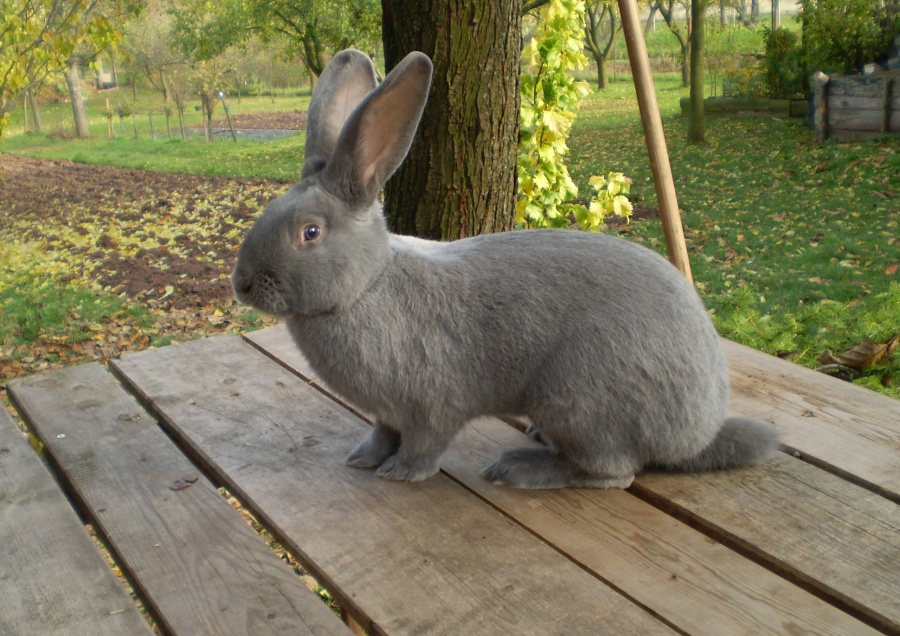 Moravský modrý, králík, samec