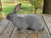 Moravský modrý králík samec