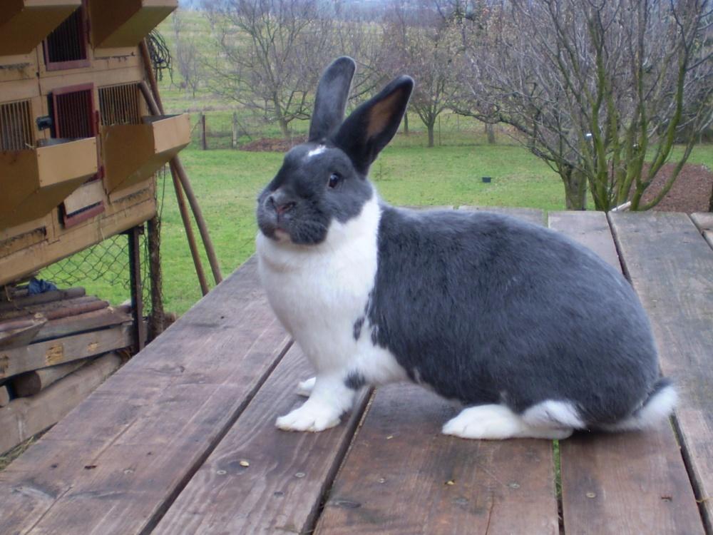Meklenburský strakáč modrý, králík, kvapil