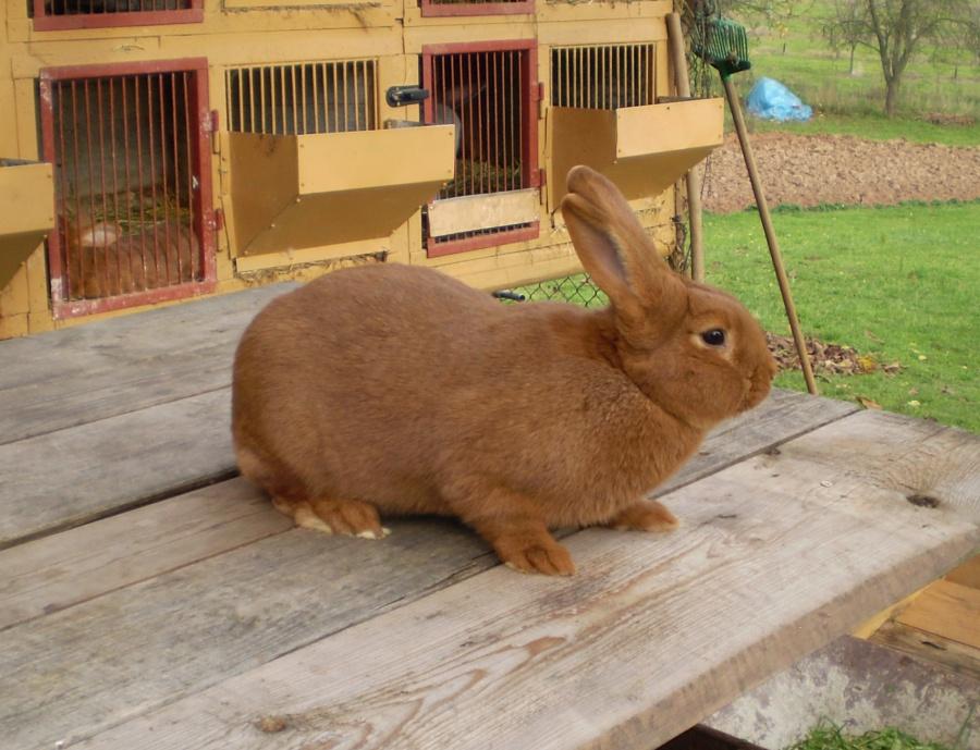 Novozélandský červený králík