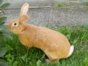Burgundský králík, oceněný, samec