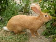 Burgundský králík, samec