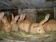 Burgundský, králík, Kvapilová