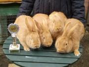 Burgundský králík, Kvapilová, čestná cena