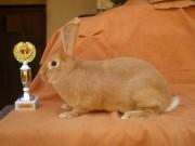 Bu, králík, výstavy