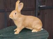 Burgundský králík, prodej Kvapilová