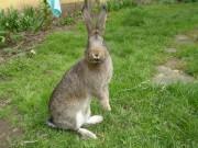 Moravský modrý, Činčila velká, králík