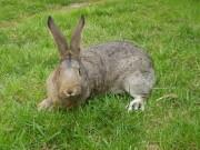 Moravský modrý, Činčila velká králík