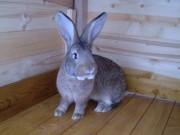 Burgundský, činčila velká, králík