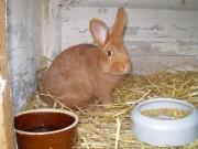 Burgundský, Novozélandský červený, kříženec, králík