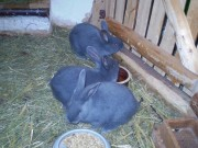Mährische blaue Kaninchen