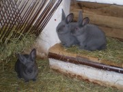 Moravský modrý králík, Přibyl