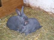 Moravský modrý králík, králíkáři, Klika