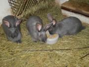 Moravský modrý králík, chov, králíkáři, klub