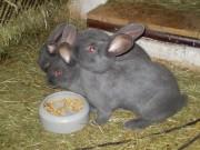 králíci Moravský modrý,králíkáři, ČSCH