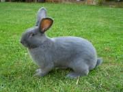 Moravský modrý, králík, Znojmo