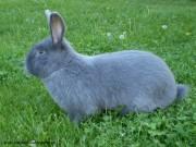 modrý králík