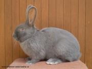 Moravský modrý, králík na prodej