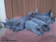 Moravský modrý, králíčata