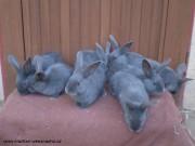 moravský modrý, mláďata