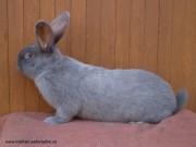 Moravský modrý králík, Smutný