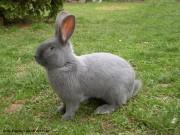 Moravský modrý, králík
