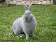 deutsche riesen, kaninchen