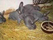 Moravský modrý, králík, Smutný
