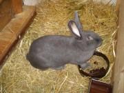 Moravská modrý králík, národní plemeno