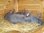 Moravský modrý králík, kvapilová