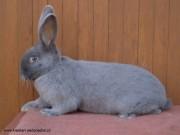 Moravian blue rabbit, sale