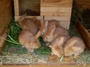 burgundský králík, prodej