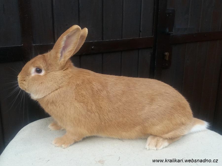 burgundský samec, Poland, králík