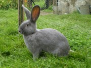 Moravský modrý, samice, králík, oceněný