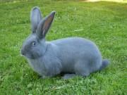 Moravský modrý,králík