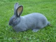 Klika, Moravský modrý králík,samice