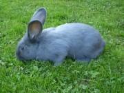 Moravský modrý králík, prodej