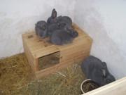 ČSCH, moravský modrý, králík
