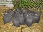 Moravian blue rabbit