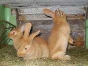 Burgundský, králík, čsch, Štěrba