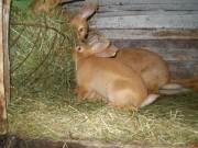 Burgundský, králík
