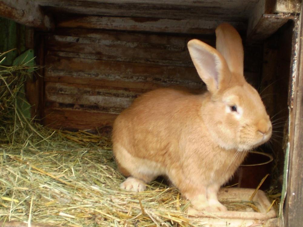 Burgundský samec, králík