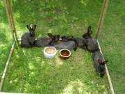 Burgundský, Kuní velký hnědý, králík