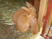 Burgundský, Novozélandský červený, králík