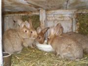 Burgundský, Velký světlý stříbřitý (Bu x Vss), králík