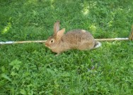 Burgundský, Činčila velká, kříženec, králík