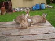 Burgundský, Moravský modrý, králík